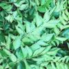 curryblaetter-frisch-curry-leaves-kadi-patta