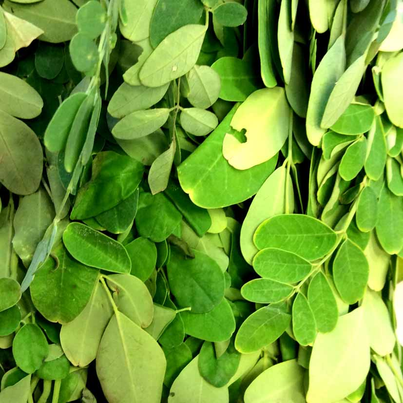 Frischer Moringa Oleifera Moringa Blatter Moringa Leaves